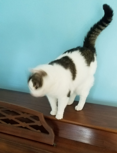 image of Olivia the White Farm Cat, standing on top of the piano, her head a blur as she does the classic cat headshake