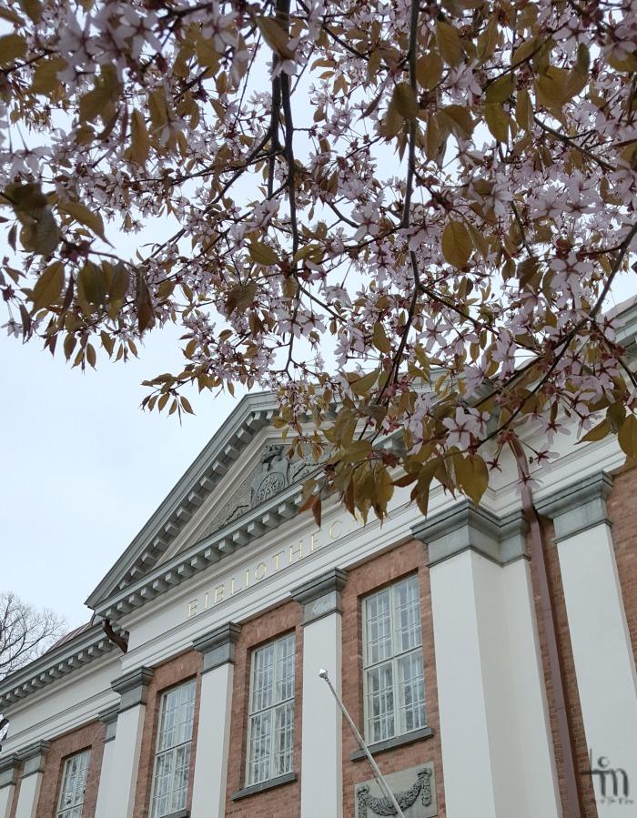 kirsikkapuu kukkii Turun kaupunginkirjaston edessä