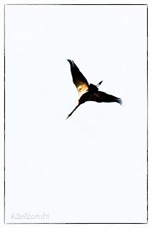 Daru repül fehér háttér előtt