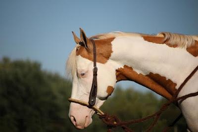 paint horse, quarter horse