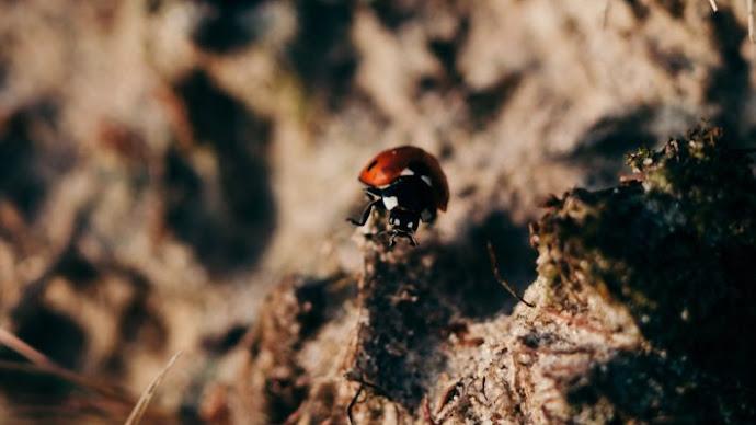 Wallpaper 2: Ladybird