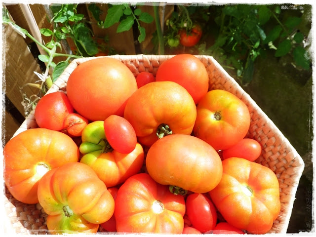 basket of freshly picked tomatoes - don't waste them