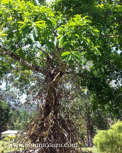 Couroupita guianensis, Cannonball Tree