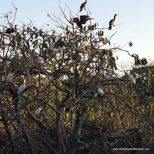 roosting birds at La Tovara Nature Reserve in San Blas, Mexico