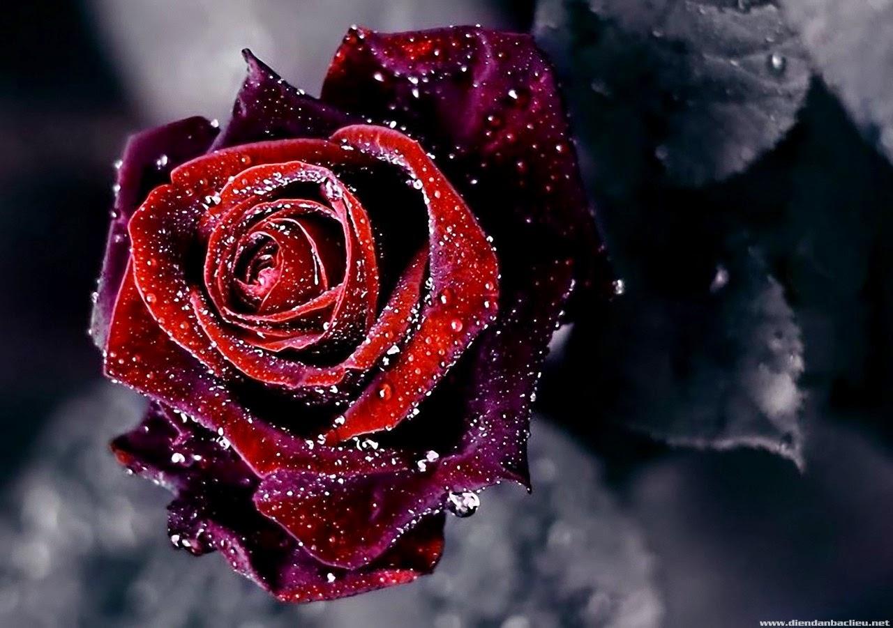 Hoa hồng đpẹ nhất thế giới