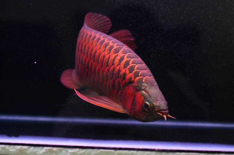 Dragon Fish Arowana Tips On Maintaining Arowana