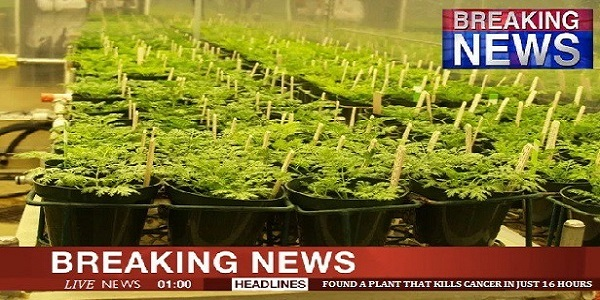 Breaking News: Scientist Found A Plant That Kills Cancer Cells In Just 16 Hours! Spread The Info!