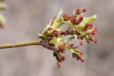 Boxeleder (Acer negundo) male flowers