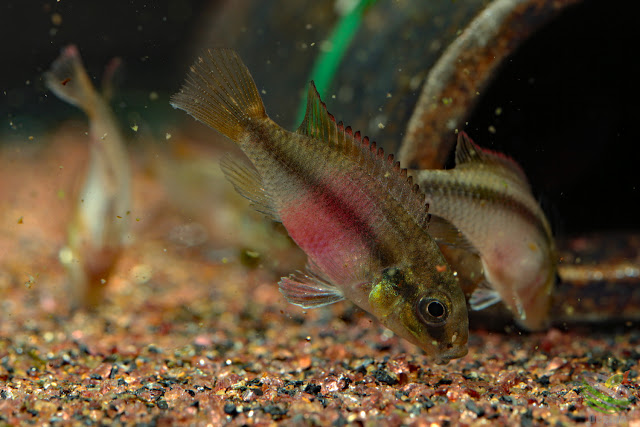 "F1 Pelvicachromis subocellatus ""moanda"""