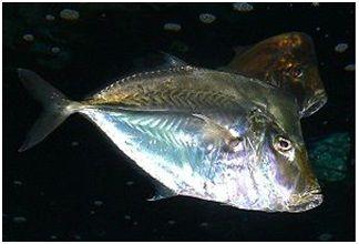 Jenis Ikan Laut Hias Aquarium Jacksfish