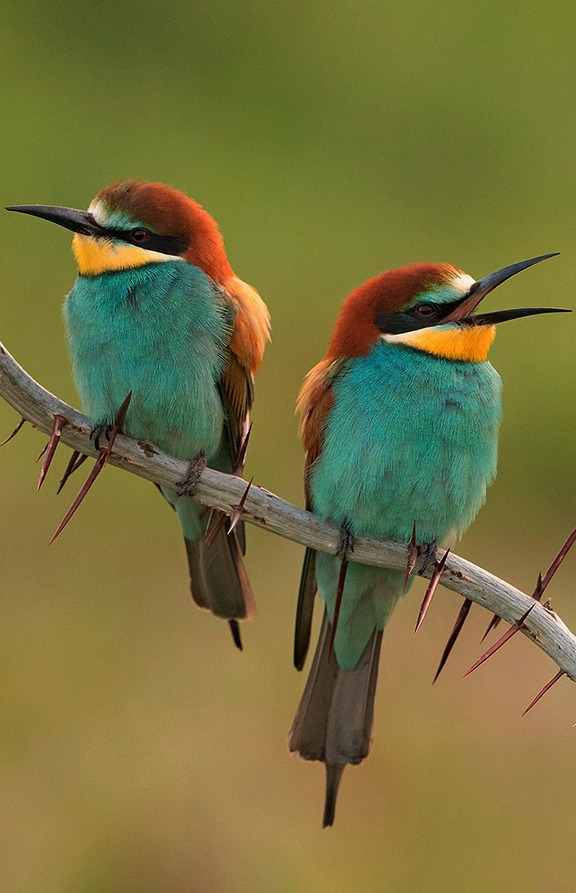 Picture of two colorful bee-eaters.