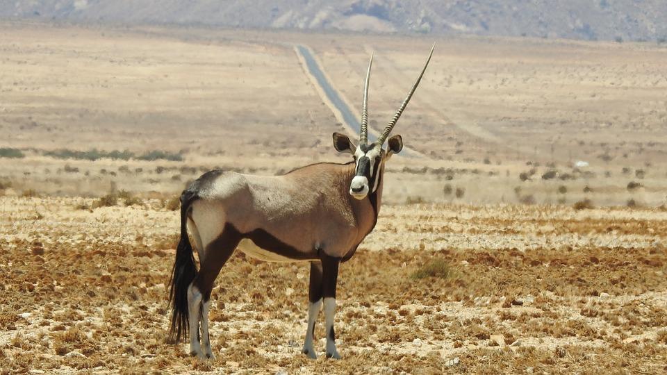 hwan oryx