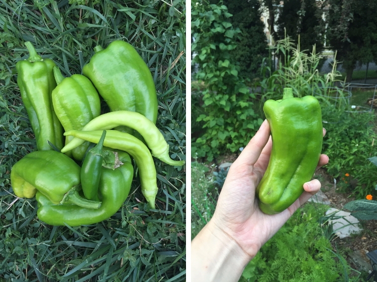 Freshly Picked Peppers // How to Grow Peppers // www.thejoyblog.net