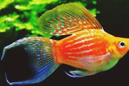 Daftar Harga Ikan Molly Paling Lengkap Terbaru