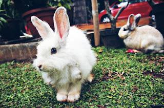 Cara Memilih Induk Kelinci yang Baik untuk Pemula