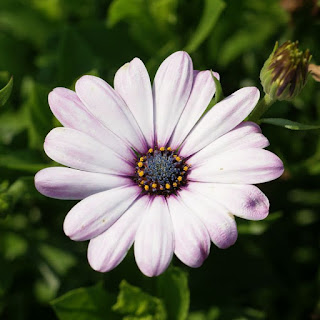 Dimorphoteca ecklonis 'Side Show Bicolor Pink' - Osteospermum ecklonis 'Side Show Bicolor Pink'