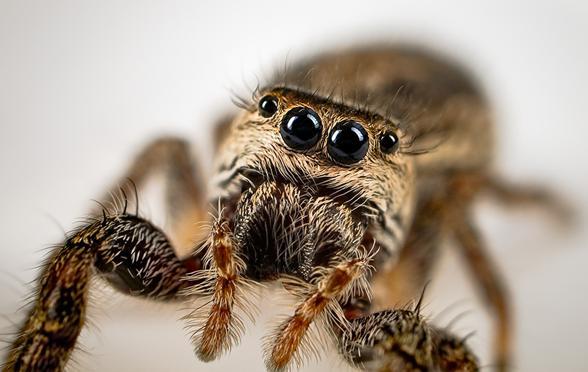 ¿Tienes aracnofobia?  Las arañas más lindas y adorables que seguramente no conozcas