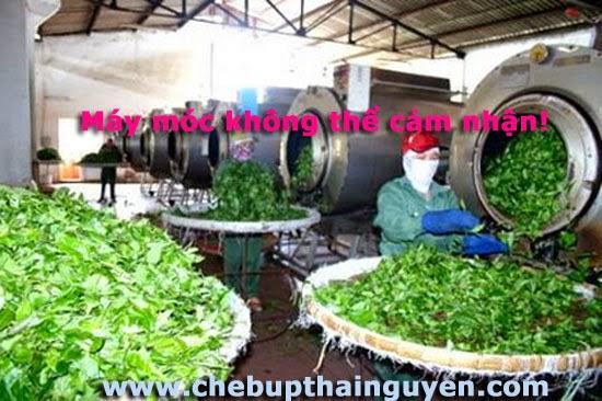 sản xuất chè thái nguyên sạch