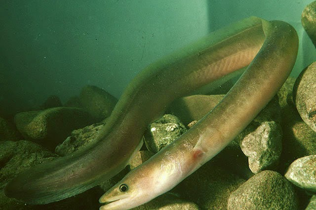 Gambar Ikan Sidat  Dunia Binatang