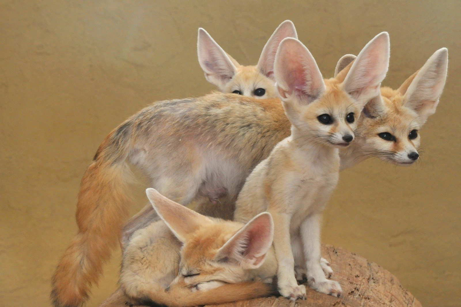 All About Animal Wildlife: Fennec Foxe Facts Photos-Images