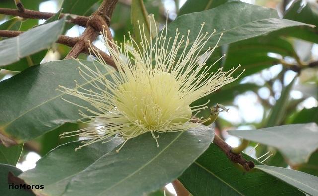 Pomarrosa Syzygium jambos