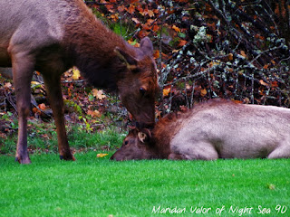 October Elk Photos; strange looking elk expressions, a baby and its mother and a funny video clip.
