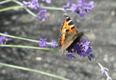 Schmetterling am Lavendel