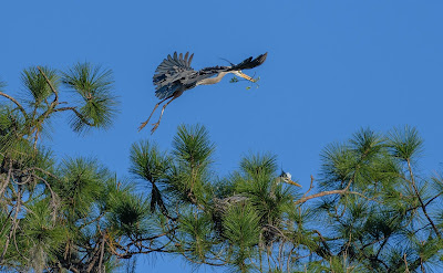 male great blue heron arriving with a twig for the nest