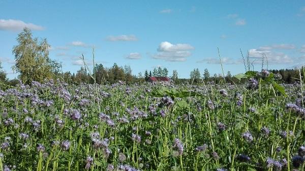 maalaismaisema kukkapelto