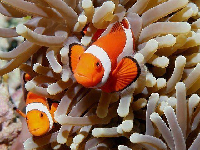 Budidaya Ikan nemo di Akuraium atau Bak