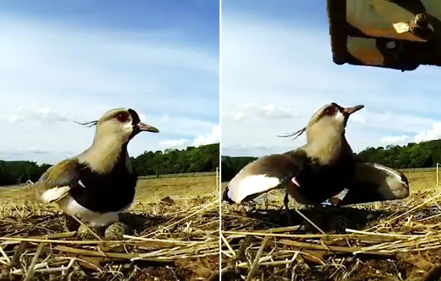 Así defiende esta ave su nido de un tractor