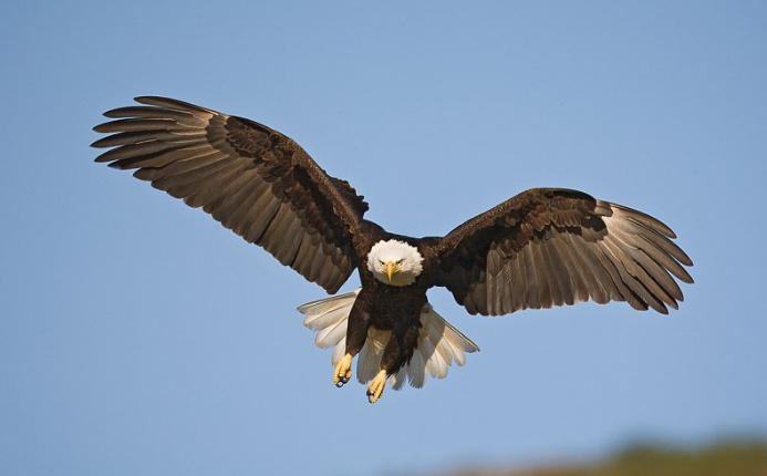 Bald Eagle Behavior In Fly