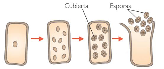Reproduccion asexual de los hongos por gemacion a nivel