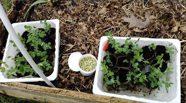 Semis et plantation de petits pois : mes astuces (vidéo)