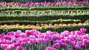 Más de 15.000 bulbos de tulipanes florecen ya en el Real Jardín Botánico