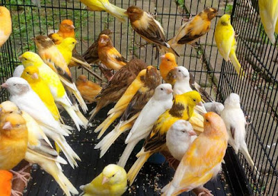 Daftar Harga Burung Kenari 2019