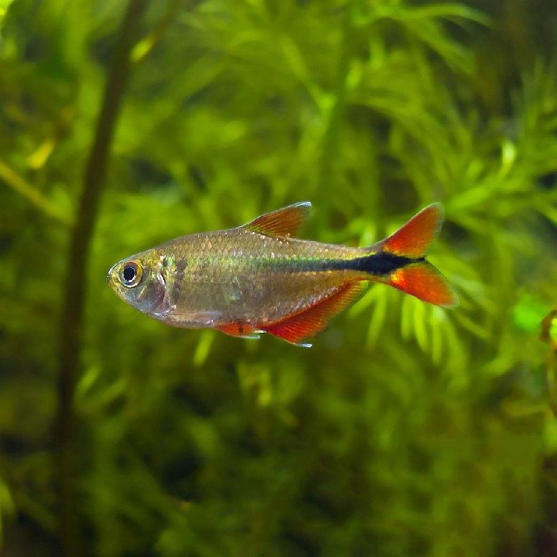 51. Jenis Ikan Hias Aquascape Buenos Aires Tetra