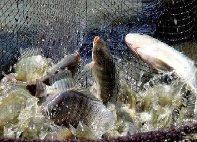 Perlakuan pasca panen ikan gurami - pustakapengetahuan.com