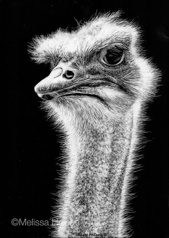 10-Ostrich-Melissa-Helene-Amazing-Expressions-in-Scratchboard-Animal-Portraits-www-designstack-co