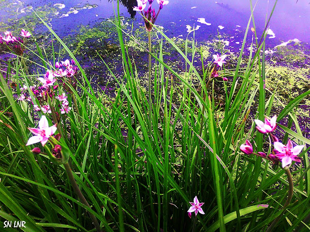 водяные цветы