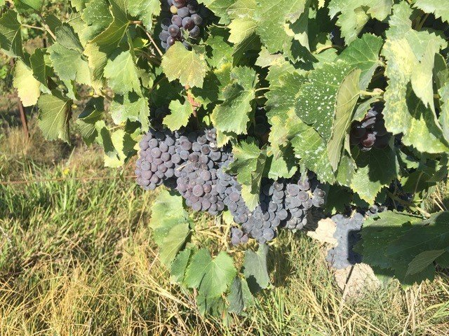 Genomic study reveals clues to wild past of grapes