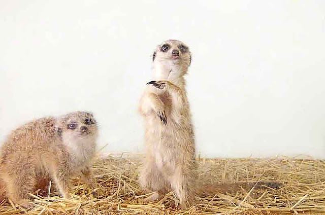 animals, meerkats, captivity, zoo