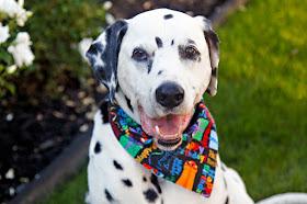 "Elderly Dalmatian dog wearing a ""Happy Birthday"" bandana"