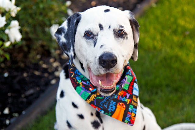 "Elderly Dalmatian dog wearing a ""Happy Birthday"" bandana"