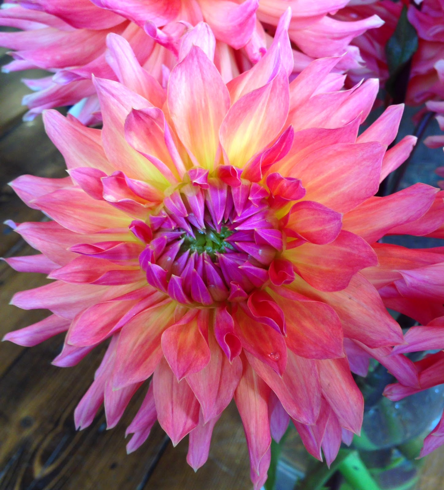 flower of the week : dinner plate dahlia : august 14