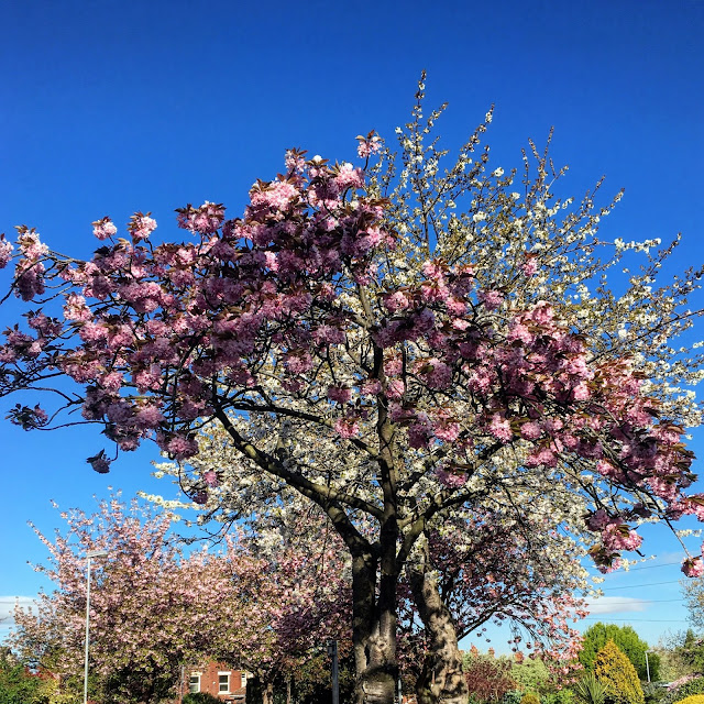 blue skies and cherry trees