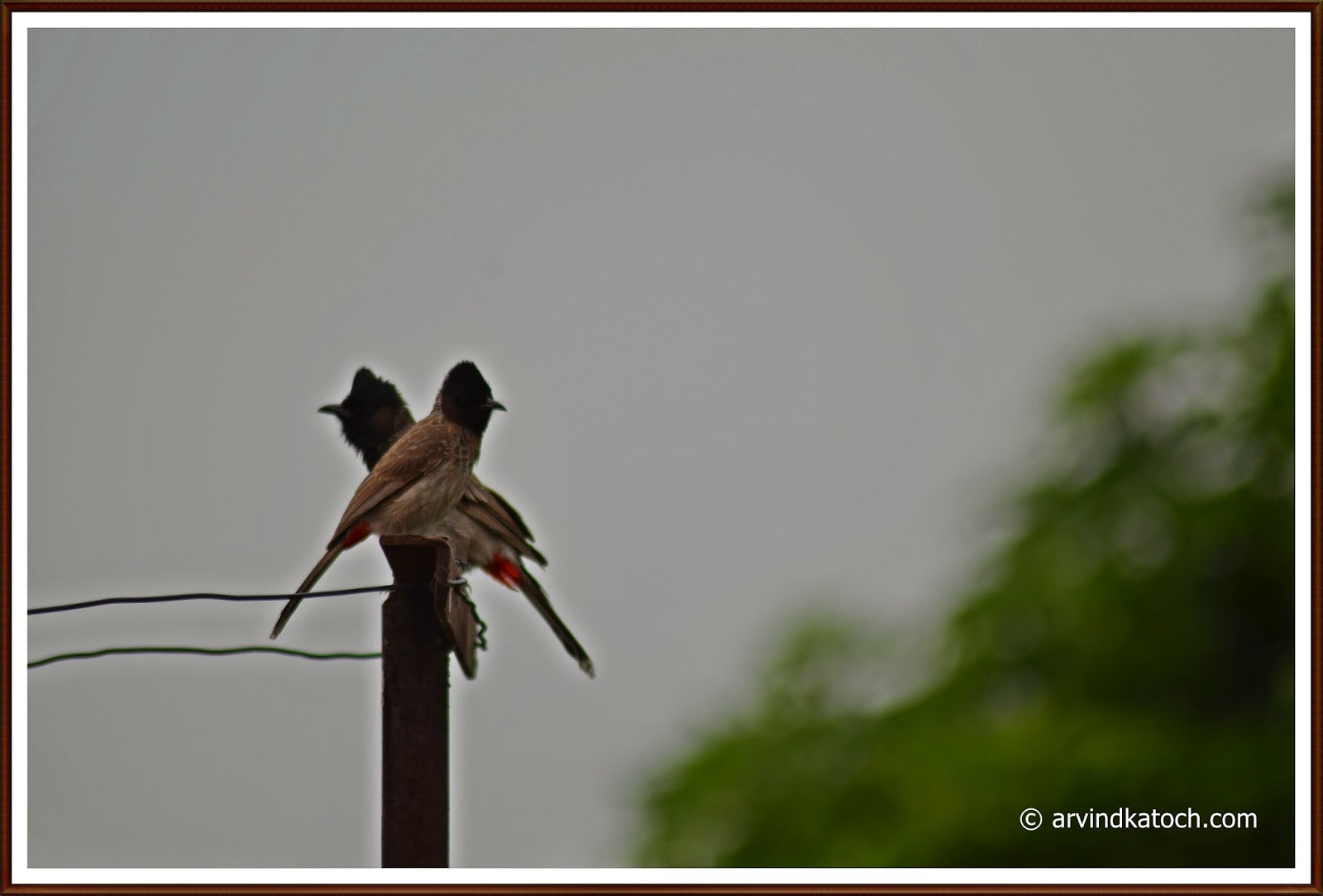 Love birds, Red vented Bulbul, Bulbul,