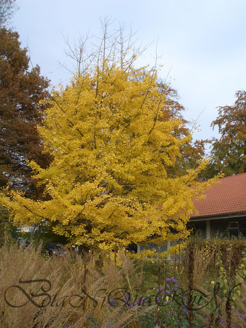 Botaniquarium - Ginkgo biloba autumn colour