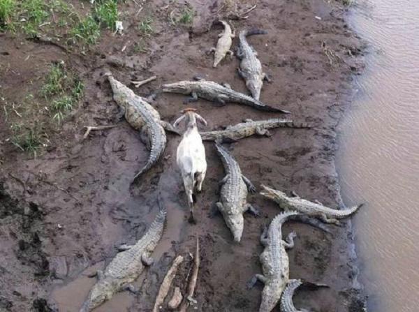 Hình ảnh hài hước về dê và cá sấu