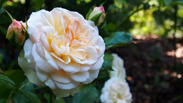 hoa hồng bạch đẹp nhất 4